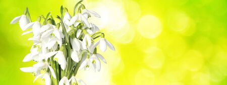 Delicate spring flowers snowdrops. Spring floral background.