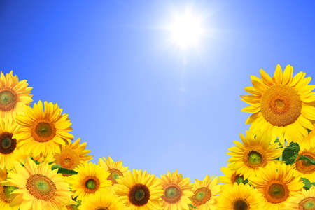Close-up of fresh sunflower against clear blue sky