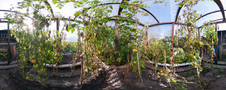 Tomato cultivating in green house. 360 degree panorama. Stok Fotoğraf