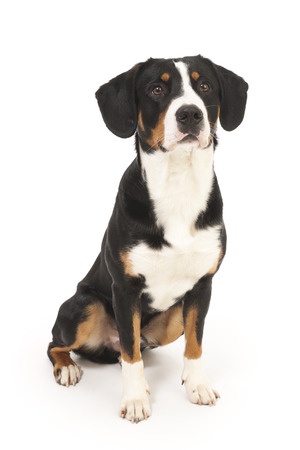 Entlebucher Mountain Dog on white in studio