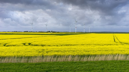 Blooming raps field in Schleswig-Holstein, northern Germany. Stok Fotoğraf