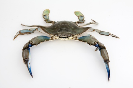 Blue crab isolated on white background under studio lights photo
