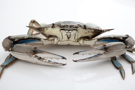 Blue crab isolated on white background under studio lights Stock Photo - 17236439