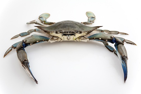 blue crab: Blue crab isolated on white background under studio lights