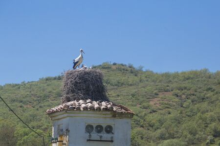 Stork feeding his babies in the nest