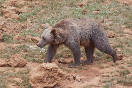 brown bear in the natural park of Cabarceno, Spain