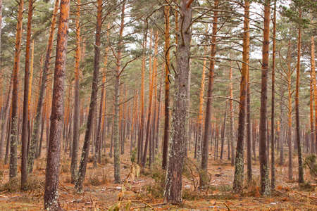 Multicolour pine forest