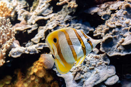 Striped yellow and white coral reef fish Banco de Imagens