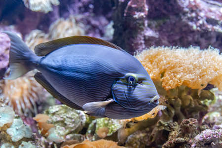 Blue tropical fish in the coral reef