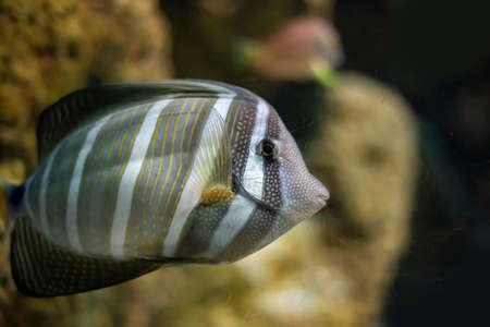 Striped tropical fish in an aquarium