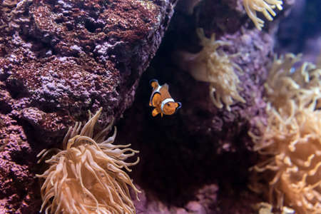 Clown fish in the coral reef
