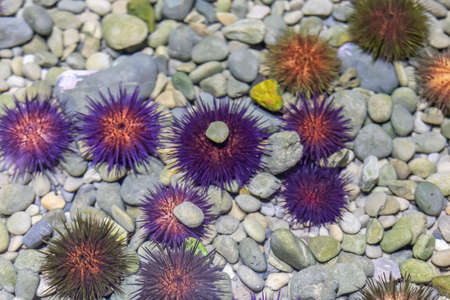 Close up photo of multicolor sea urchins
