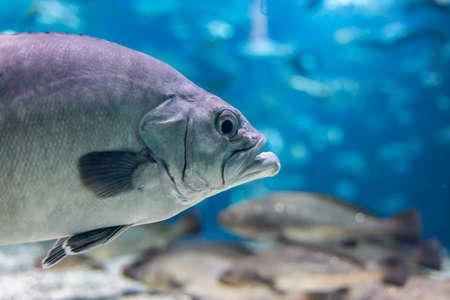 Closeup of a big fish in an aquarium
