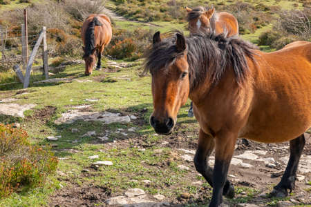 Three brown horses in the nature