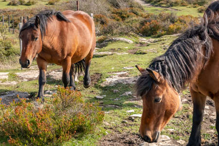 Two brown horses in the nature