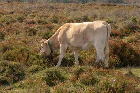 Side view of a cow in the nature Banco de Imagens