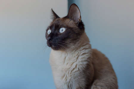 Closeup of a siamese cat