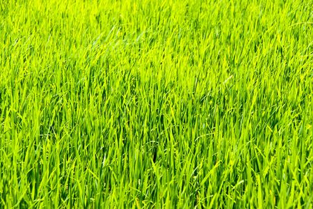 Rice farm Thailand