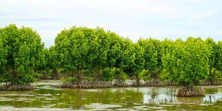 Mangrove Forest in Samutsakhon province Thailand.