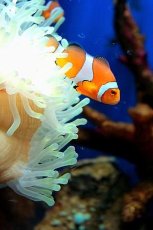 Anemonefish in aquarium,Thailand