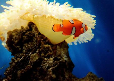 Anemonefish ,Thailand