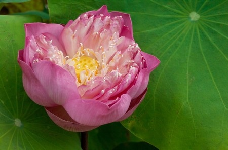 pink lotus that siamese use for give to buddha