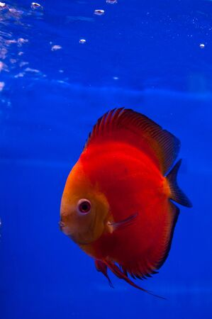 red discus fish on blue background Stock Photo - 7998719