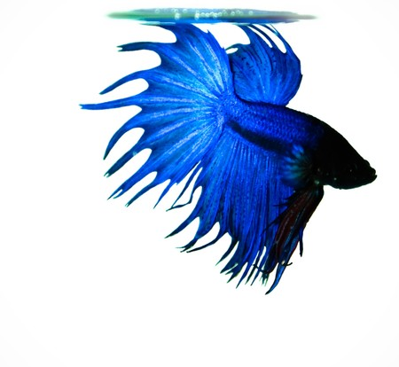 betta: blue crowntail siamese fighting fish on white background