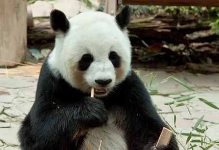 panda eating bamboo leaf in a zoo of thailand Stock Photo