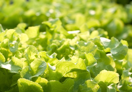 hydroponics vegetable that no need any ground for plant Stock Photo