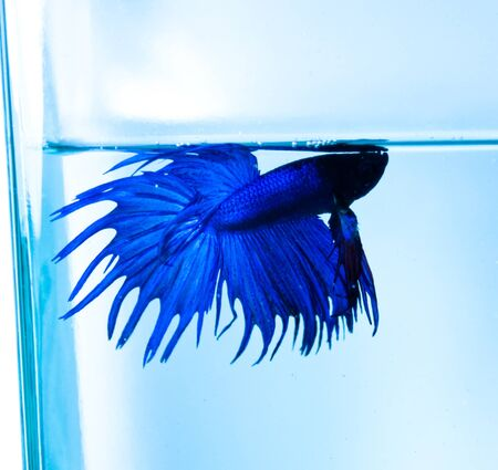 betta: blue crowntail siamese fighting fish on blue background