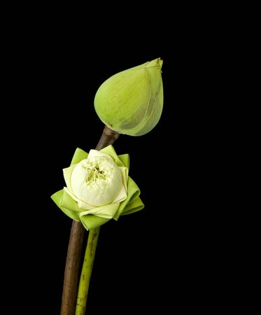 two green lotus on black background