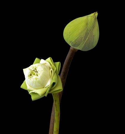 two green lotus flower on black background Stock Photo