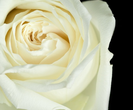 close up of off-white rose on black background Stock Photo