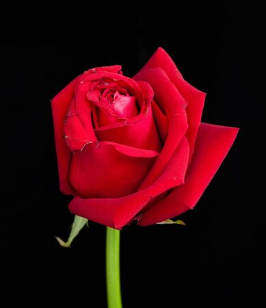 red rose on black background Stock Photo - 10411941