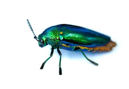 Metallic Wood Boring Beetle on white background