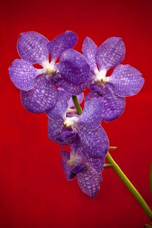 violet orchid flower on red background
