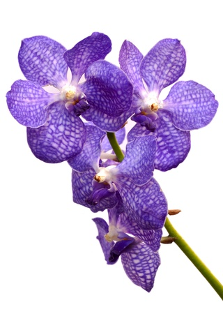 violet orchid flower on white background