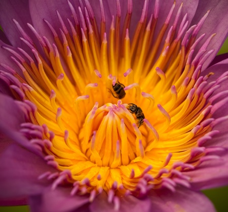 insect and purple water lily in garden Stock Photo
