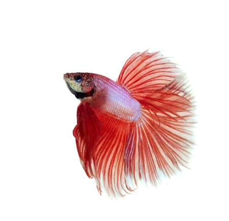orange siamese fighting fish Stock Photo - 20378926