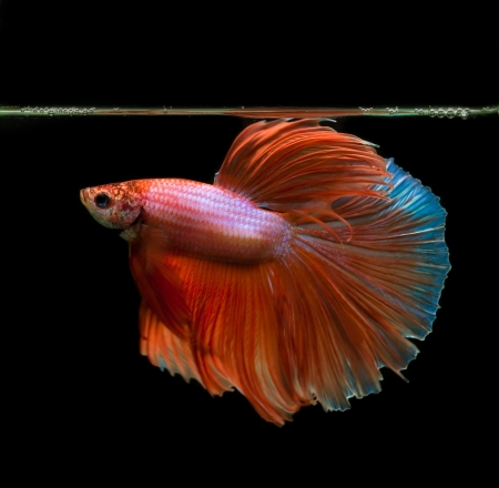 orange siamese fighting fish on black background photo