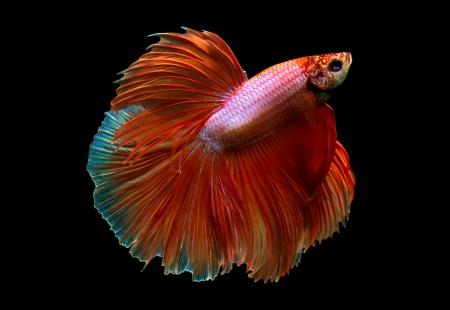 betta splendens: orange siamese fighting fish on black background