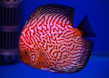 colorful pompadour fish in blue fishtank Stock Photo - 20691320