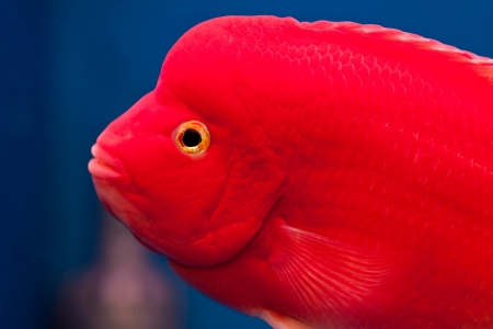 cichlidae: head of  red cichlid fish in fish tank Stock Photo