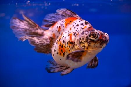 fishtank: colorful goldfish swimming in blue fishtank