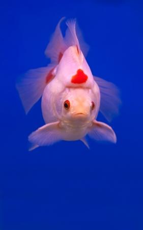fishtank: white goldfish swimming in blue fishtank