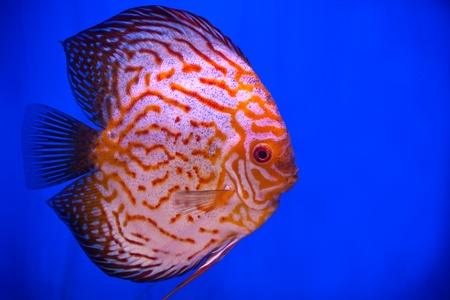 fishtank: colorful pompadour fish in blue fishtank Stock Photo