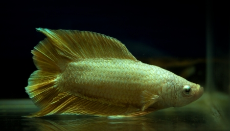 gold color siamese fighting fish in fish tank Stock Photo - 20691326