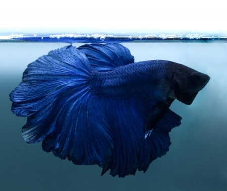 blue siamese fighting fish on blue background