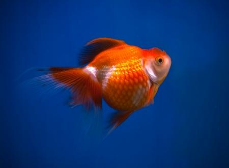 orange gold fish in blue fish tank